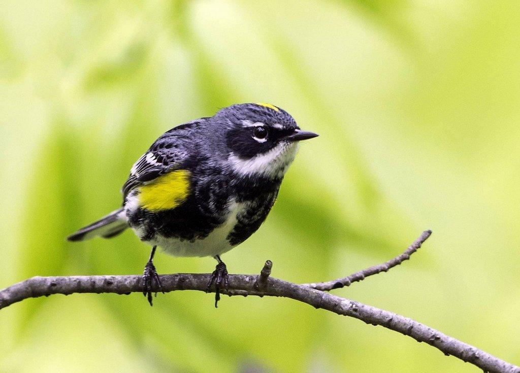 morgan_jacobsen_4-3-2018_yellow-rumped_warbler.jpg