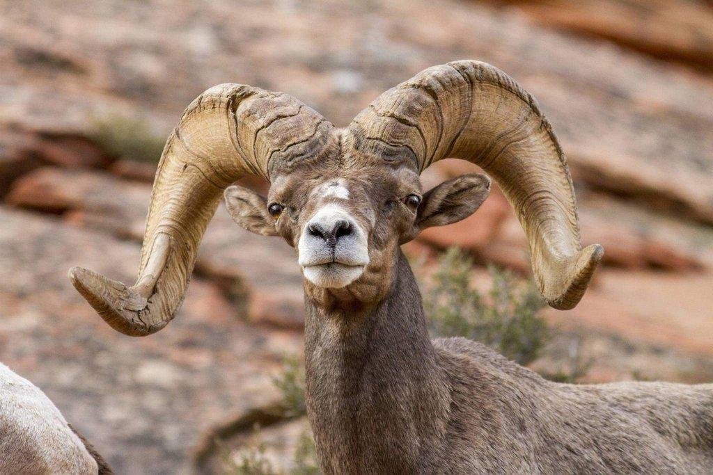 phil_tuttle_9-1-2016_desert_bighorn_sheep_in_Zion_National_Park_2.jpg