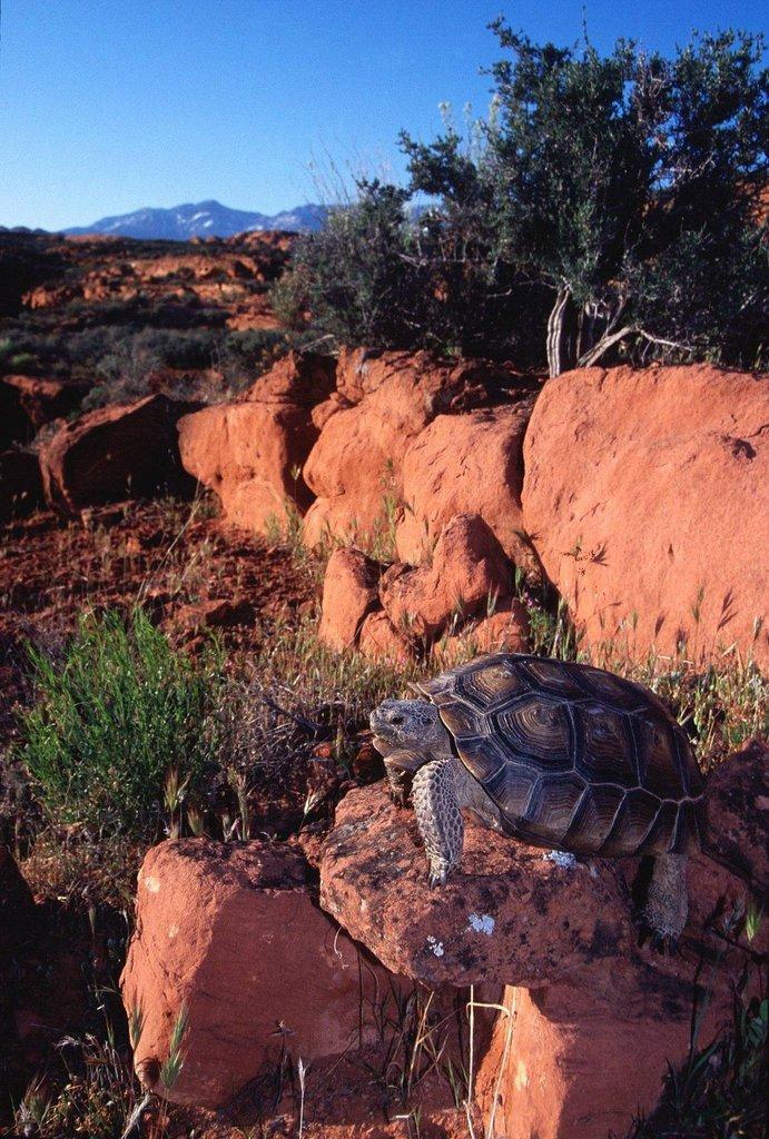 desert-tortoise-LC.jpg