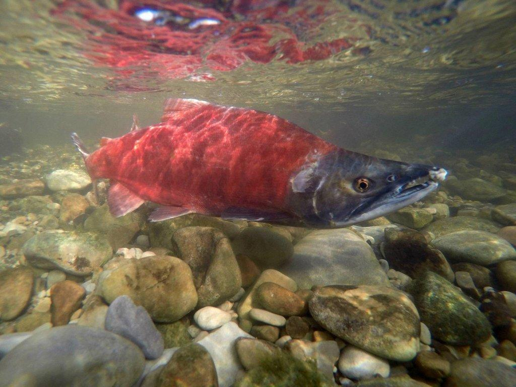 chante_lundskog_8-22-2017_kokanee_salmon_in_the_Strawberry_River_5.jpg