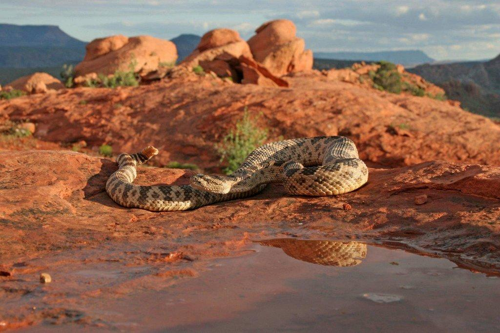 lynn_7-9-2012_Great_Basin_rattlesnake_in_southwestern_Utah_5.jpg