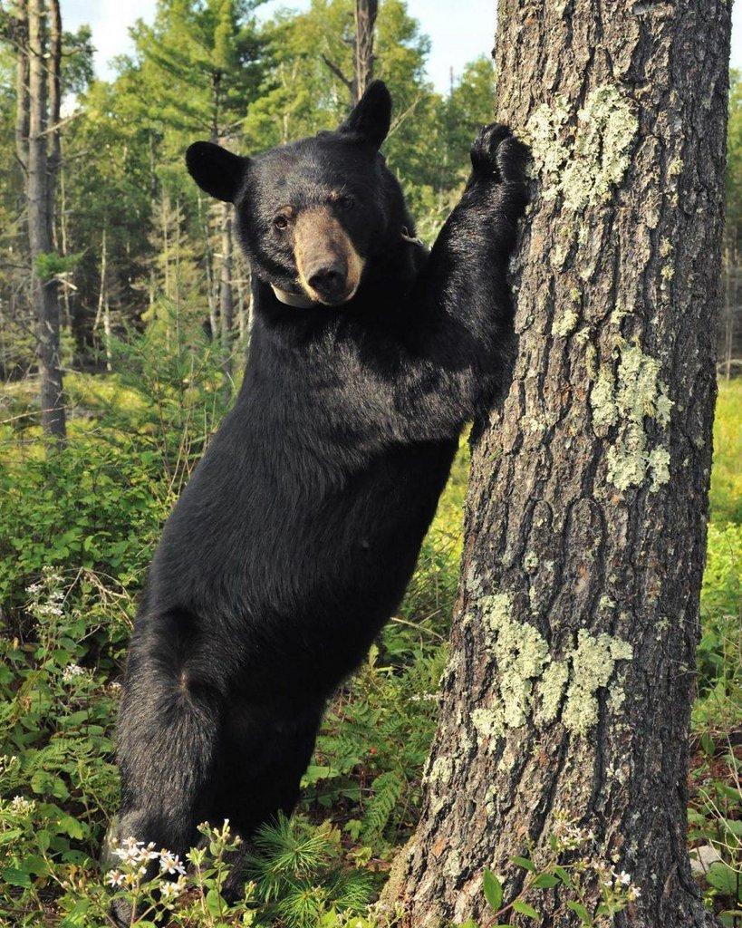 Bear-by-pine.jpg