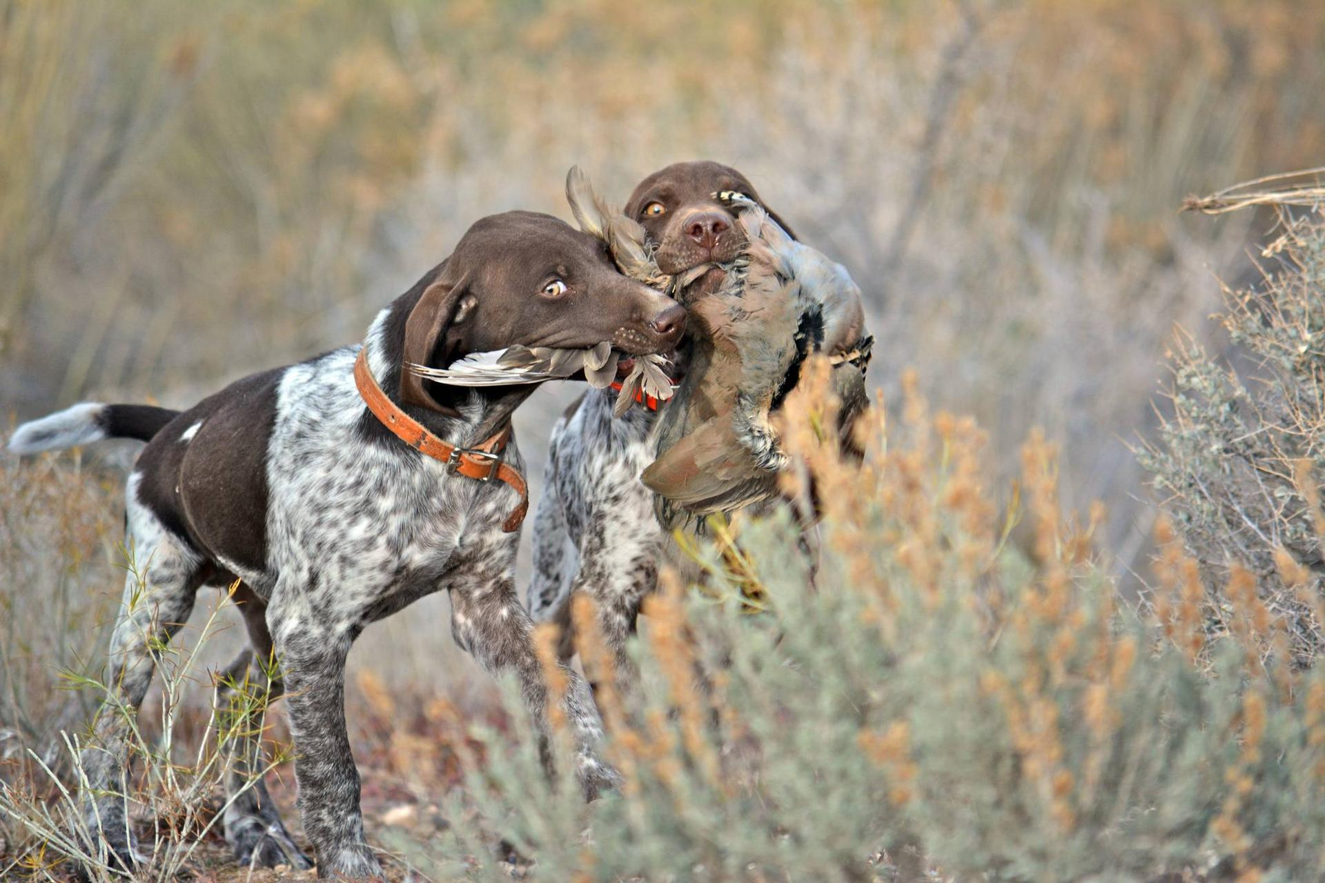 clint_wirick_12-15-2015_hunting_dogs_with_chukars.jpeg