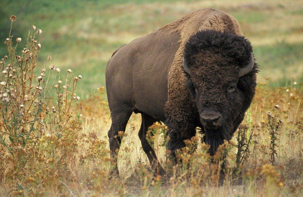 bison-60592_1920.jpg
