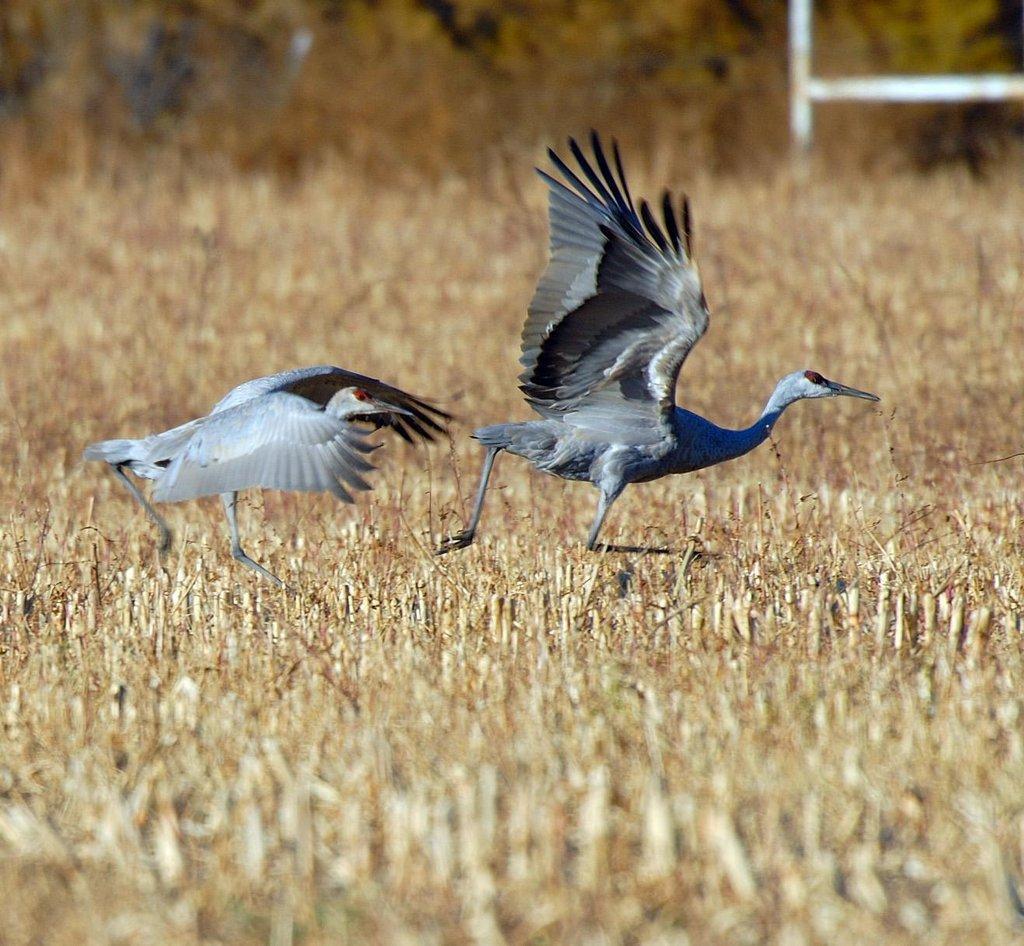 brent_stettler_10-21-2009_sandhill_cranes_in_Carbon_County.jpg