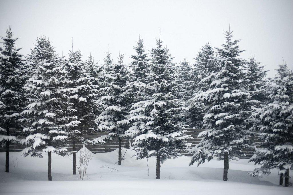 Snow_on_fir_trees-scaled.jpg