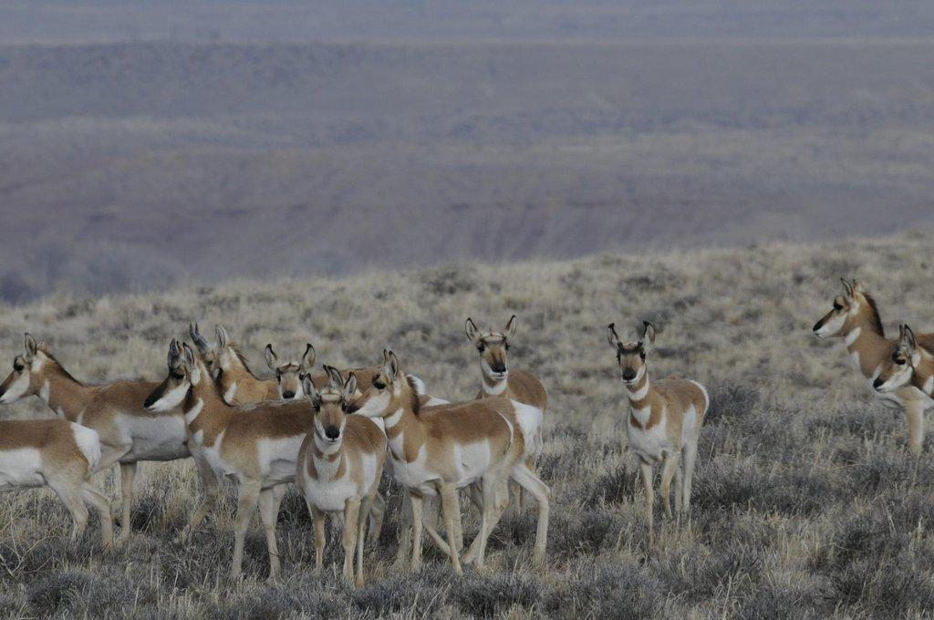 Pronghorn-at-CBC-site-scaled.jpg
