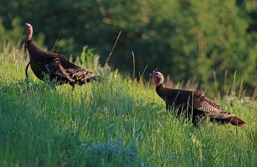 jim_shuler_6-27-2016_turkeys_in_northern_Utah-scaled.jpg