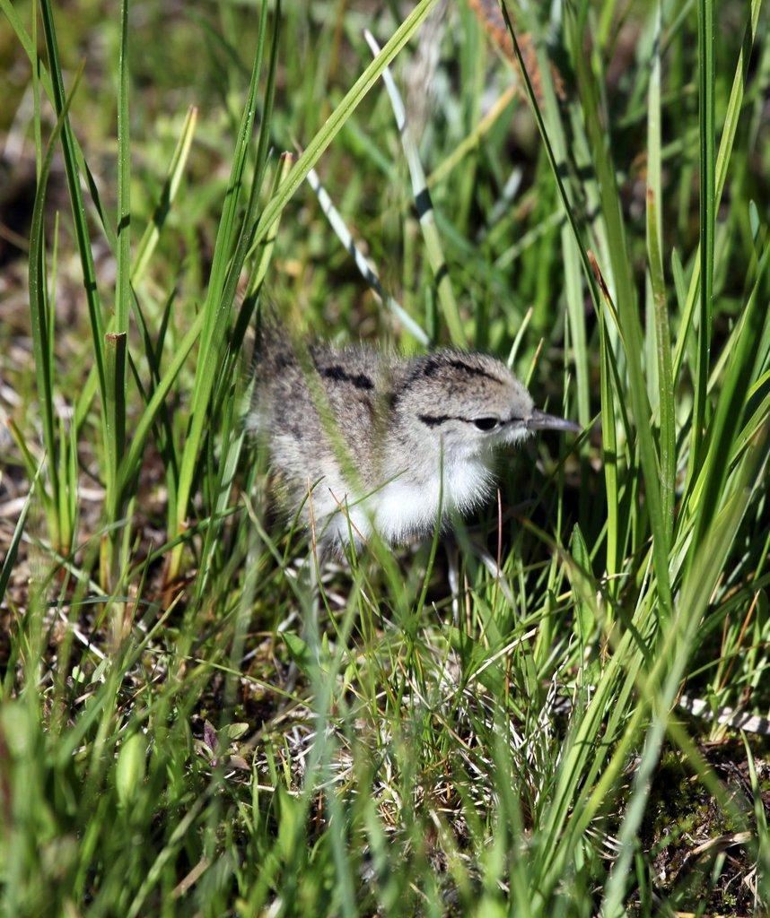 phil_6-12-2012_spotted_sandpiper_chick.jpg