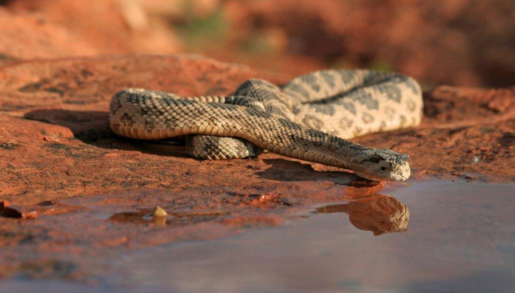 lynn_7-9-2012_Great_Basin_rattlesnake_in_southwestern_Utah_2-scaled.jpg