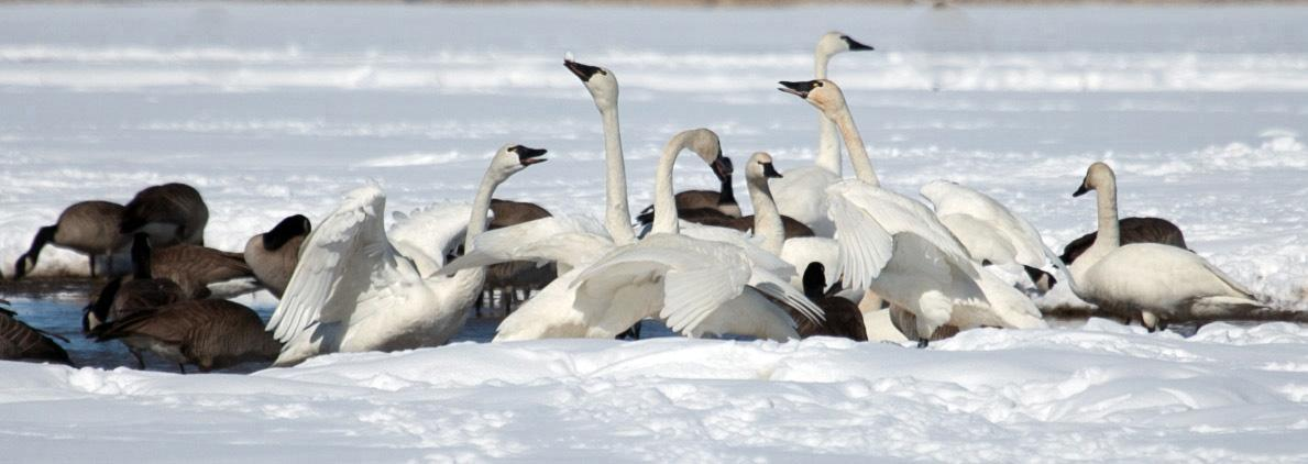 phil_2-25-2013_tundra_swans_and_Canada_geese_smaller.jpg