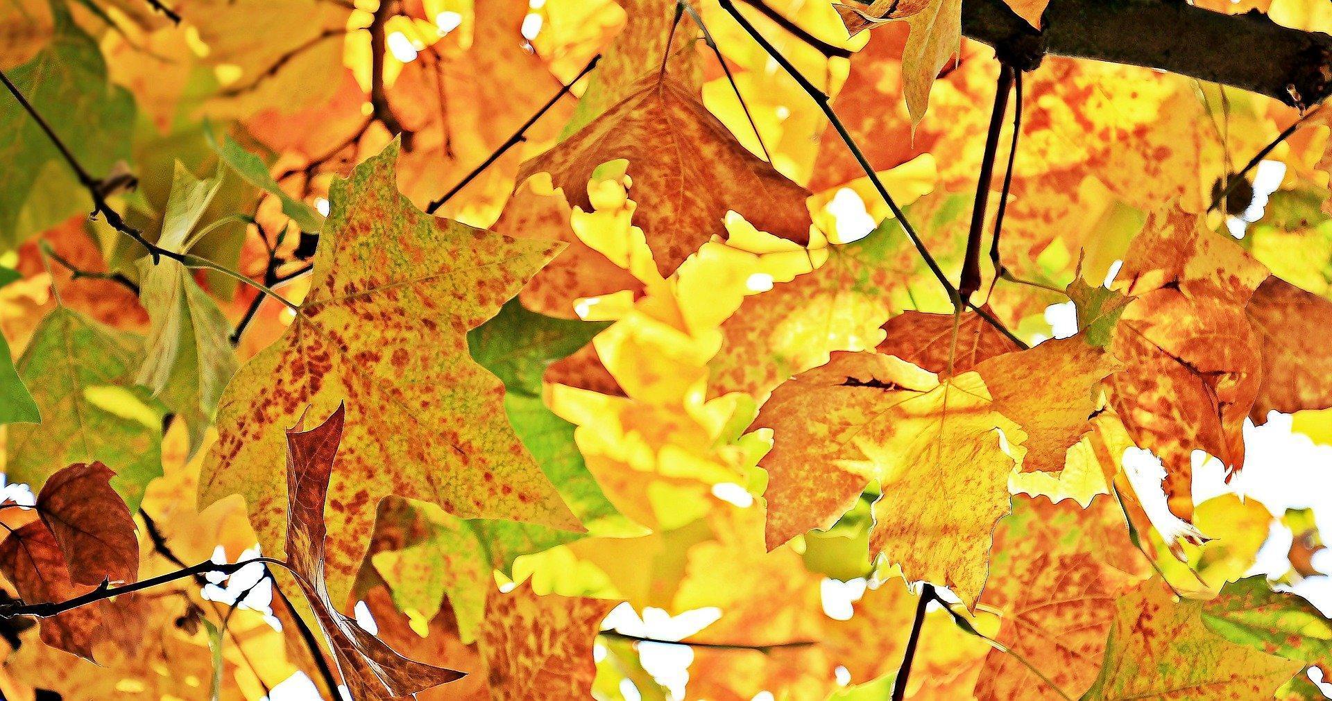 chestnut-leaves-ga1e856f37_1920.jpg