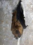 Big-Brown-Bat-Logan-Cave.jpg