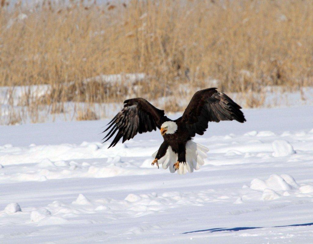 marguerite_h_roberts_1-21-2016_bald_eagle_at_the_Farmington_Bay_WMA_4.jpg